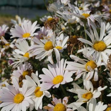 Chrysanthemum arcticum 'Roseum'