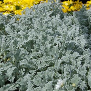 Chrysanthemum haradjanii