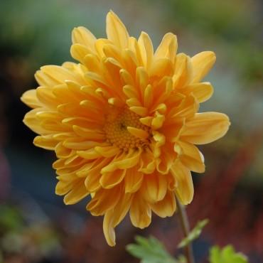 Chrysanthemum rubellum 'Mary Stoker'