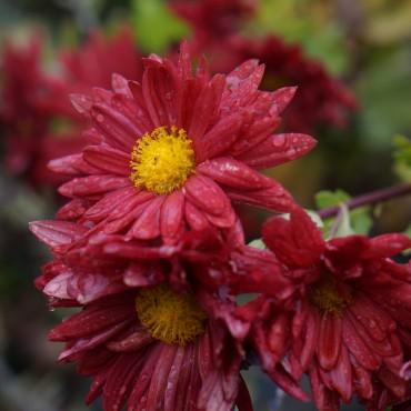 Chrysanthemum rubellum 'Red Velvet'