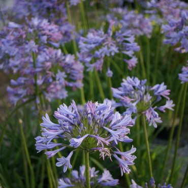 Agapanthus 'Dr Brouwer'