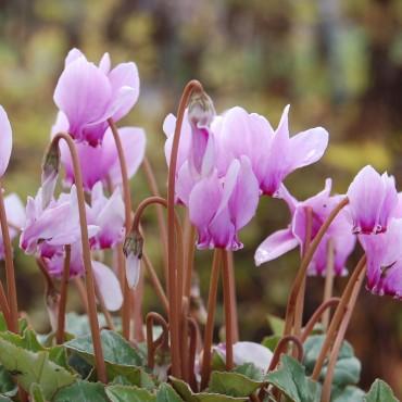 Cyclamen hederifolium 'Rosenteppich'
