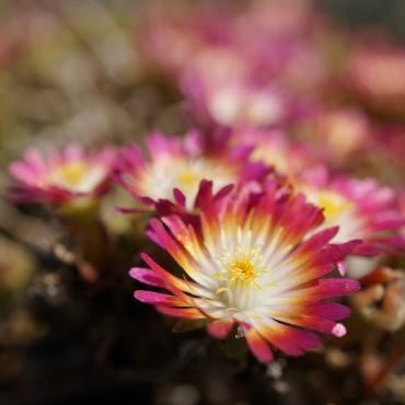 Delosperma Jewel of Desert Ruby'