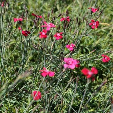 Dianthus deltoïdes 'Brillant'