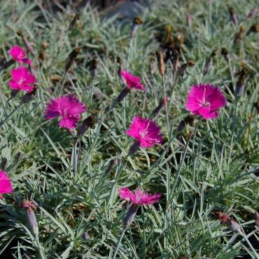 Dianthus gratianopolitanus 'Feuerhexe'