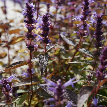 Agastache 'After Eight'