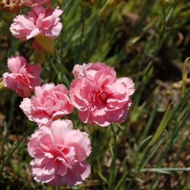 Dianthus plumarius 'Helen'