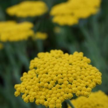 Achillea filipendulina'Coronation Gold'