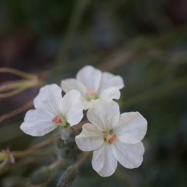 Erodium chrysanthemum
